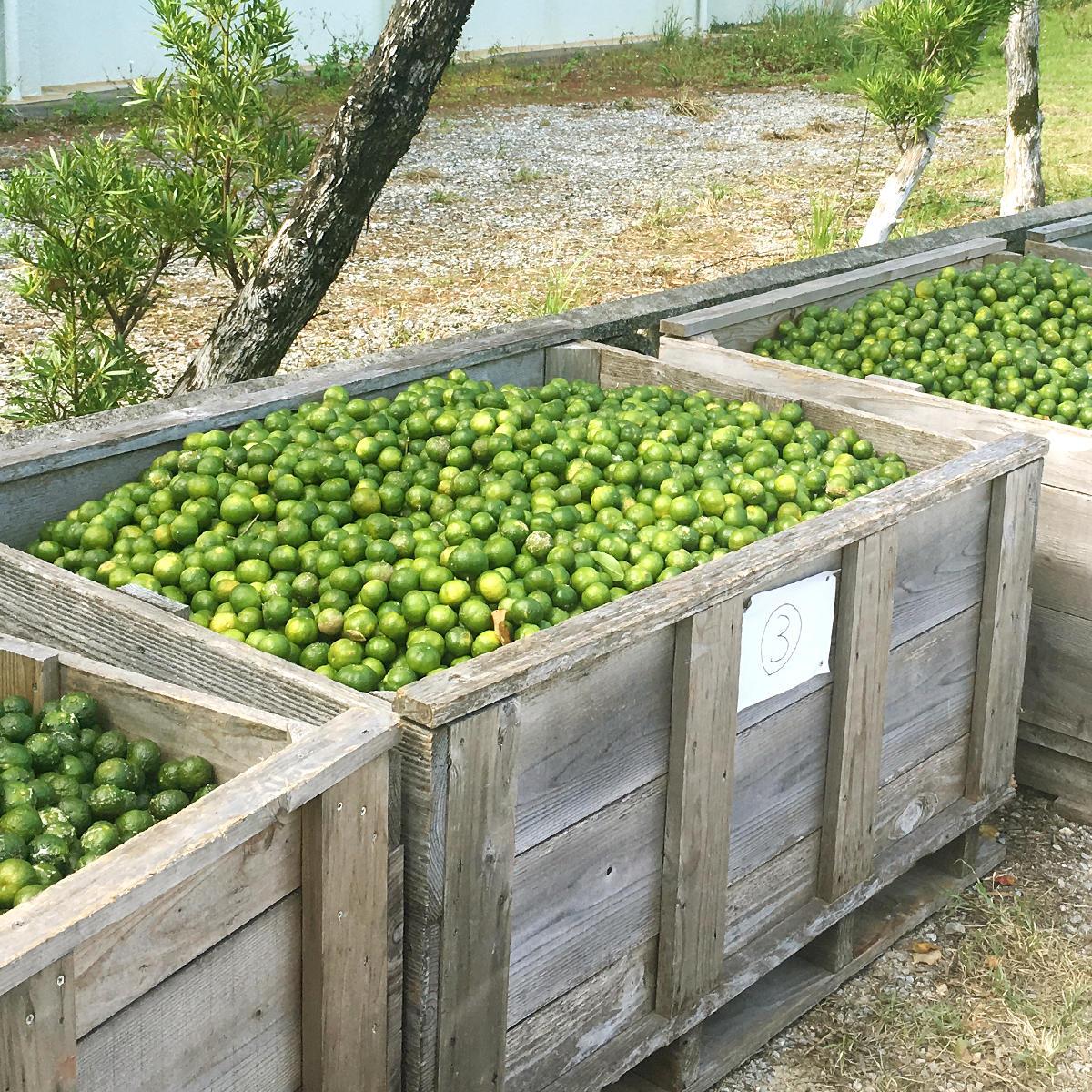 契約農家からシークヮーサー果実が届く
